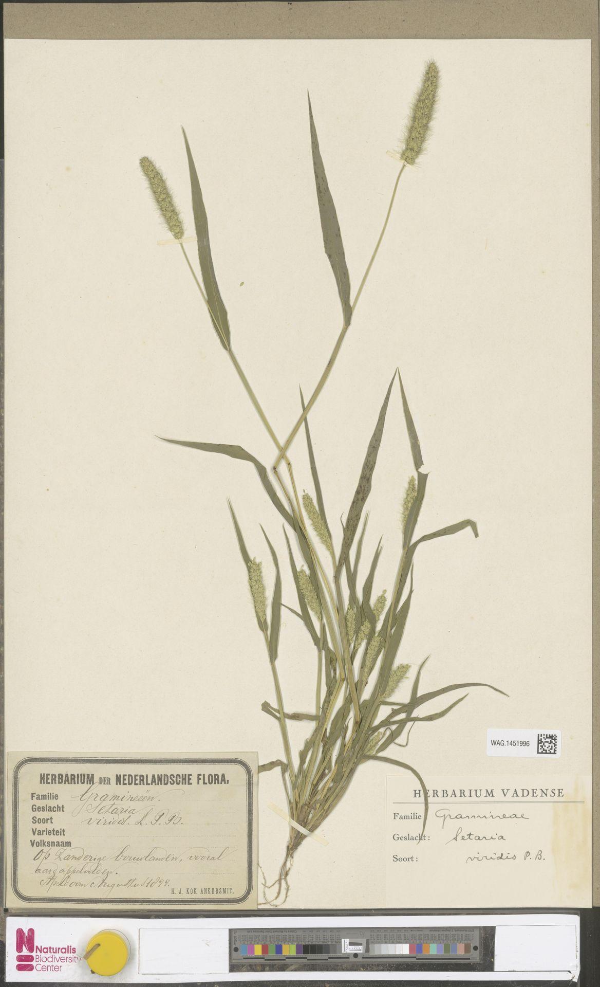 WAG.1451996 | Setaria viridis (L.) P.Beauv.