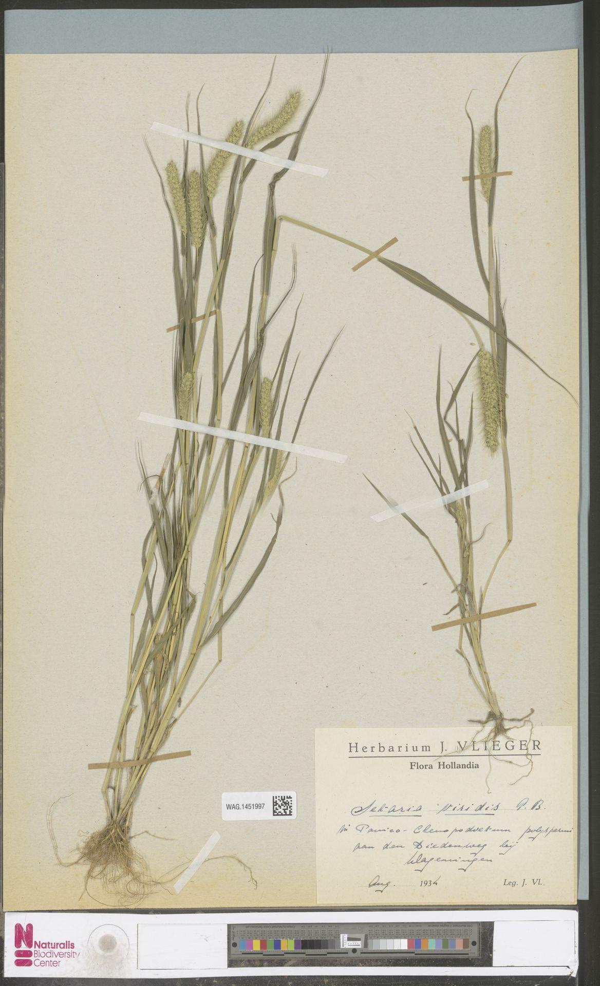 WAG.1451997 | Setaria viridis (L.) P.Beauv.