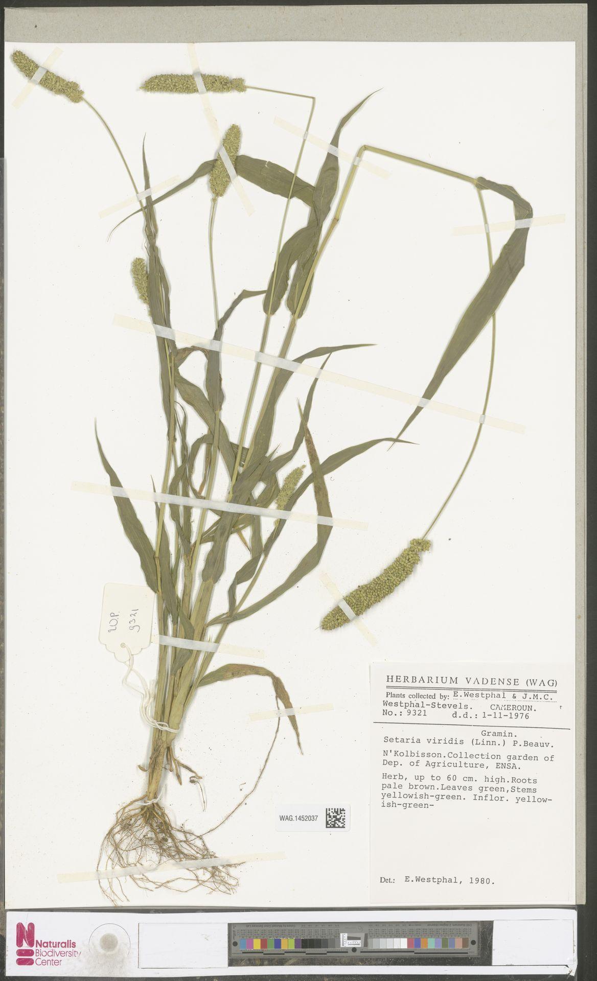 WAG.1452037 | Setaria viridis (L.) P.Beauv.