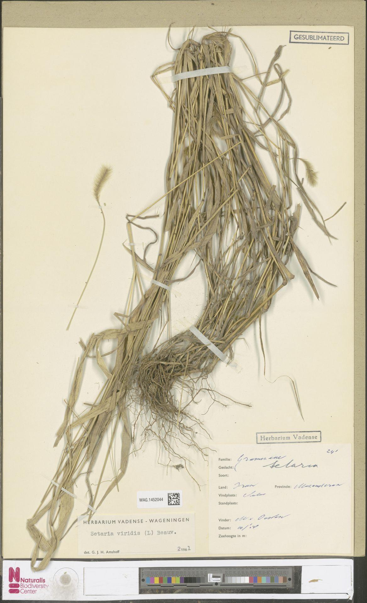 WAG.1452044 | Setaria viridis (L.) P.Beauv.