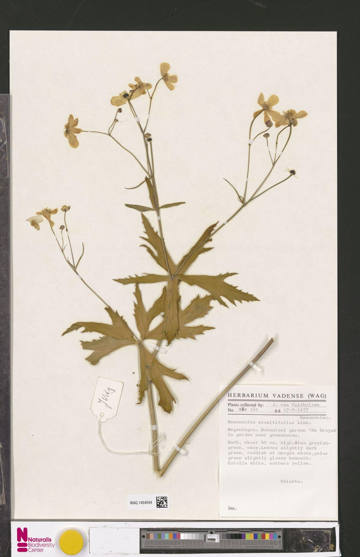 WAG.1454544 | Ranunculus aconitifolius L.