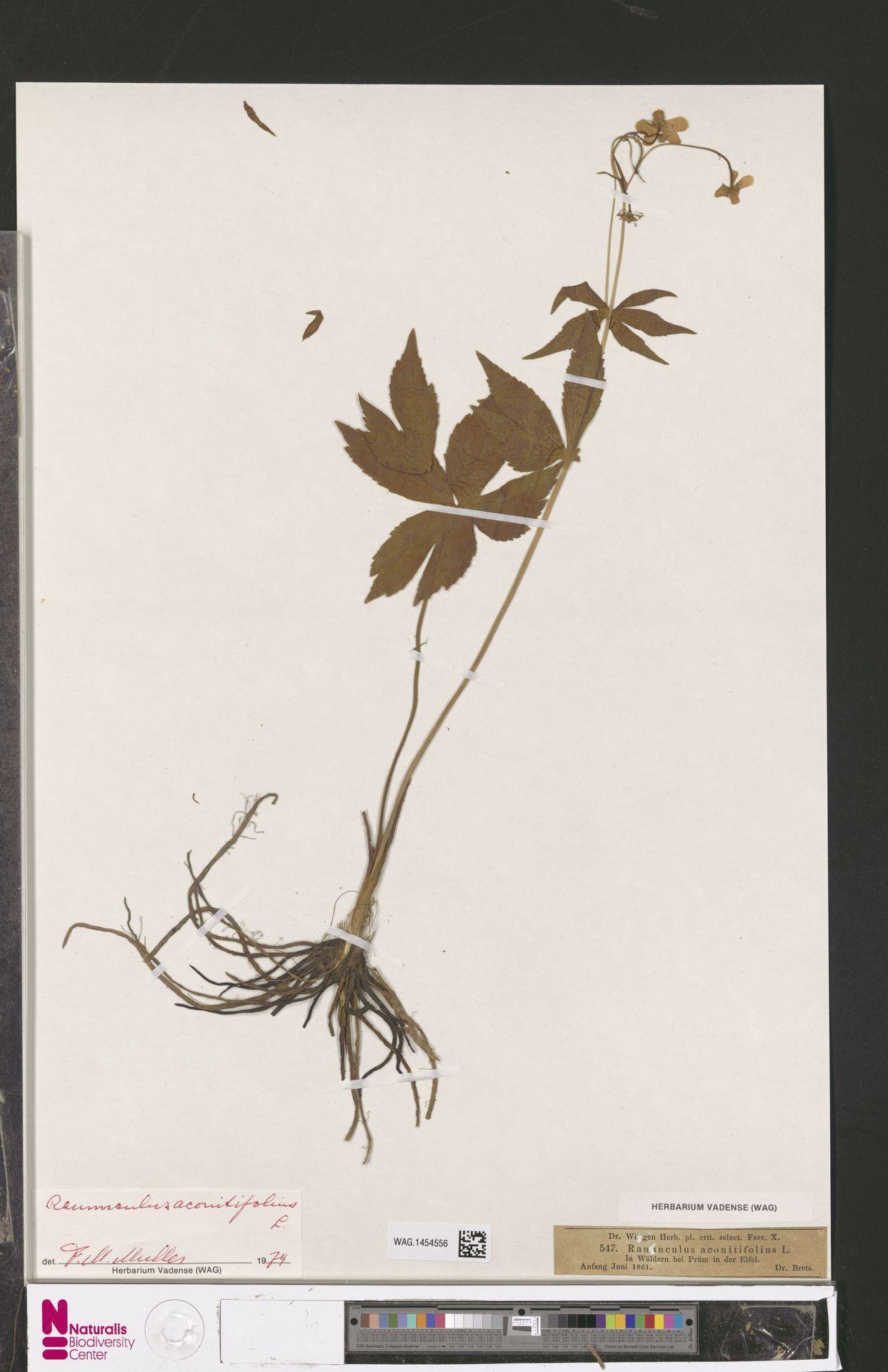 WAG.1454556 | Ranunculus aconitifolius L.