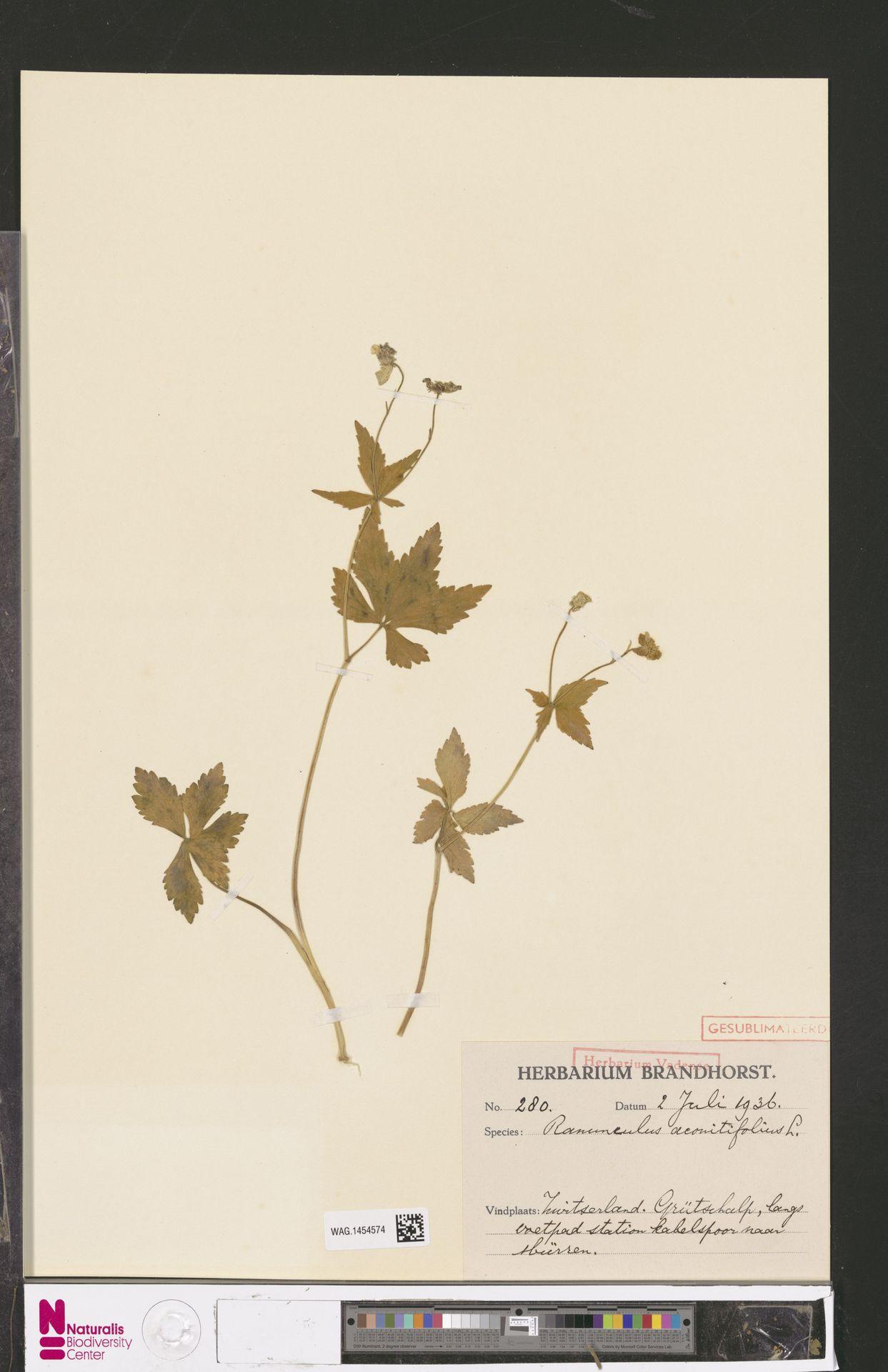 WAG.1454574 | Ranunculus aconitifolius L.