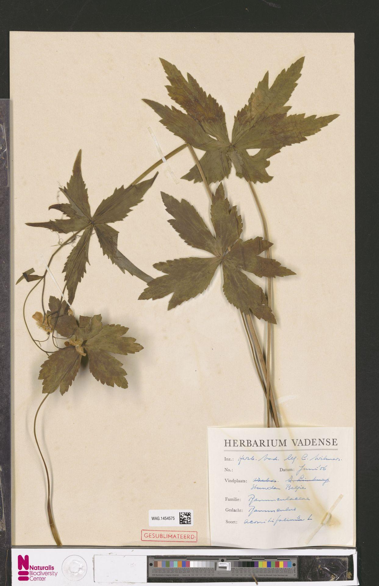 WAG.1454575 | Ranunculus aconitifolius L.