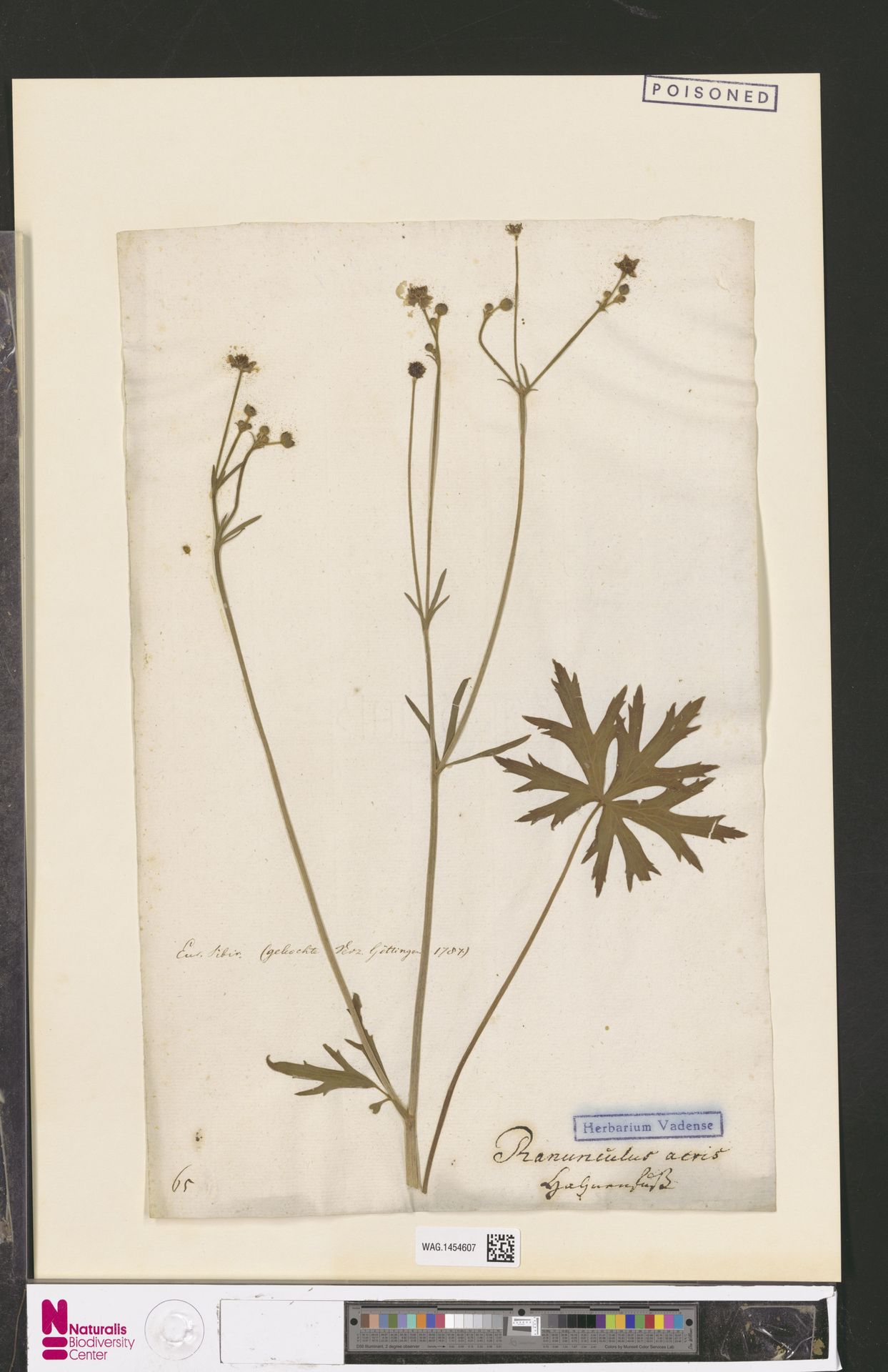 WAG.1454607   Ranunculus acris L.