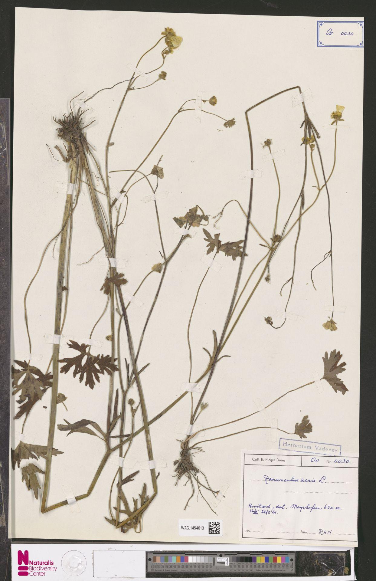 WAG.1454613 | Ranunculus acris L.