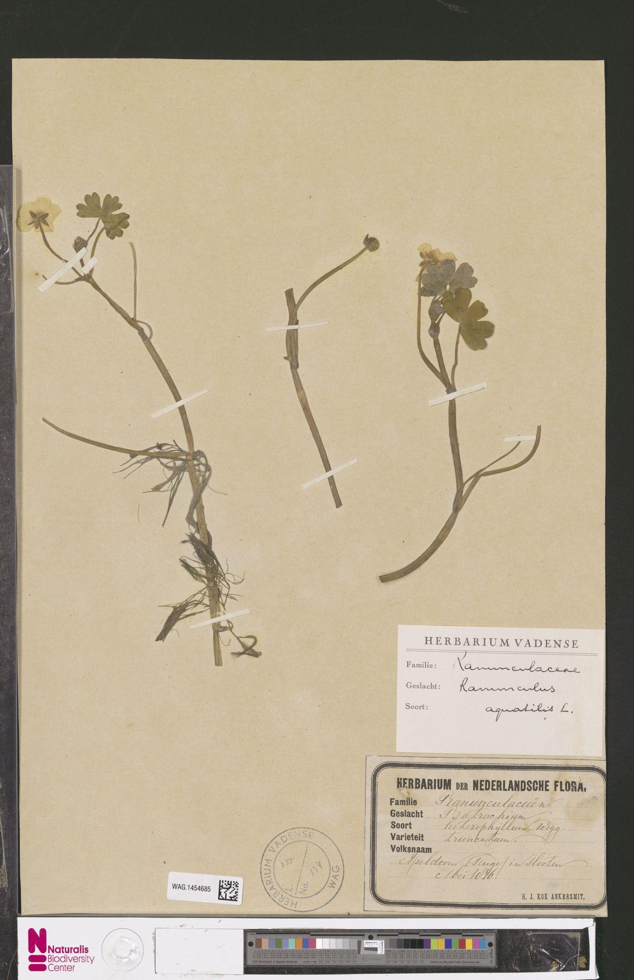 WAG.1454685 | Ranunculus aquatilis L.