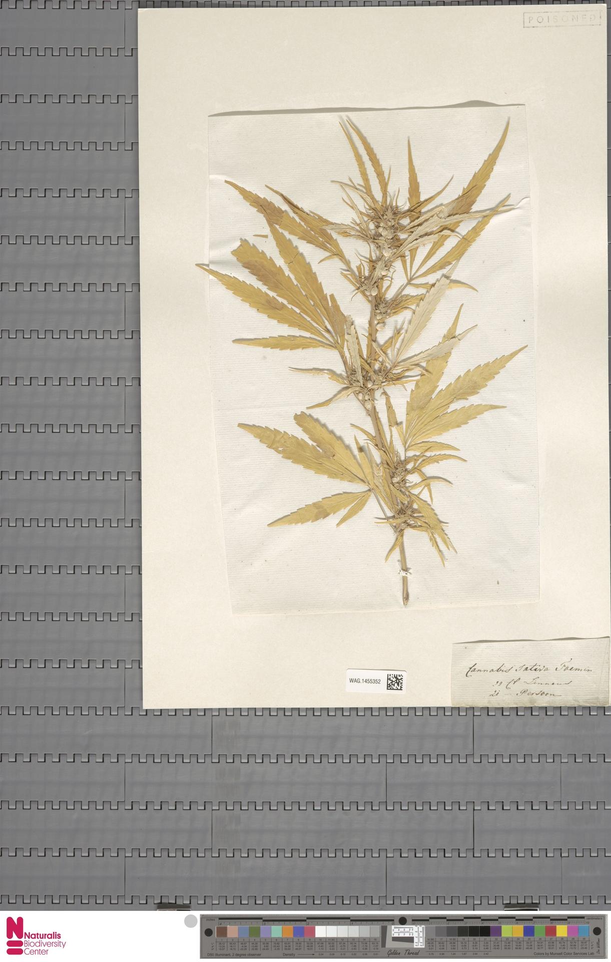 WAG.1455352   Cannabis sativa L.