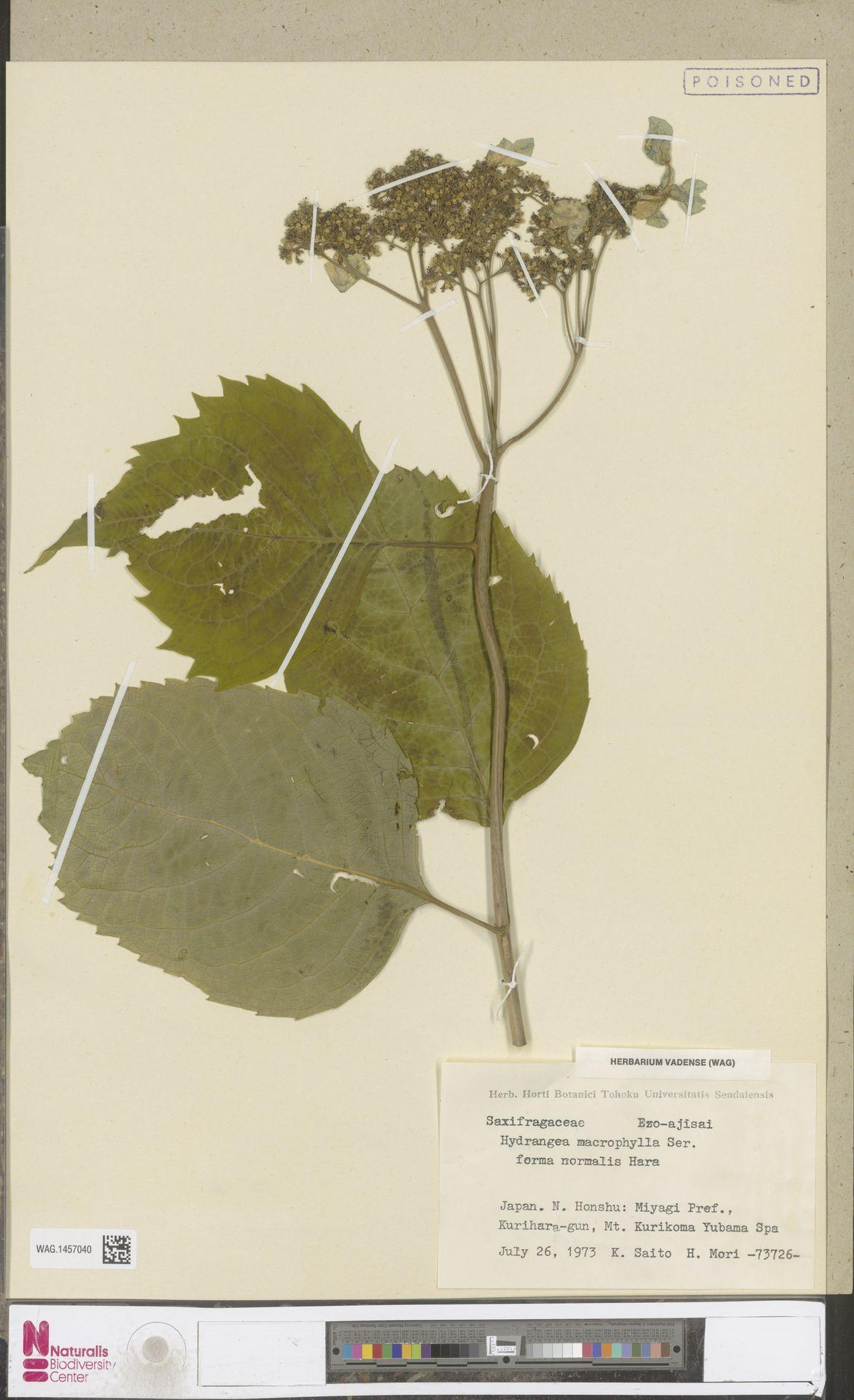 WAG.1457040 | Hydrangea macrophylla f. normalis (Wilson) Hara