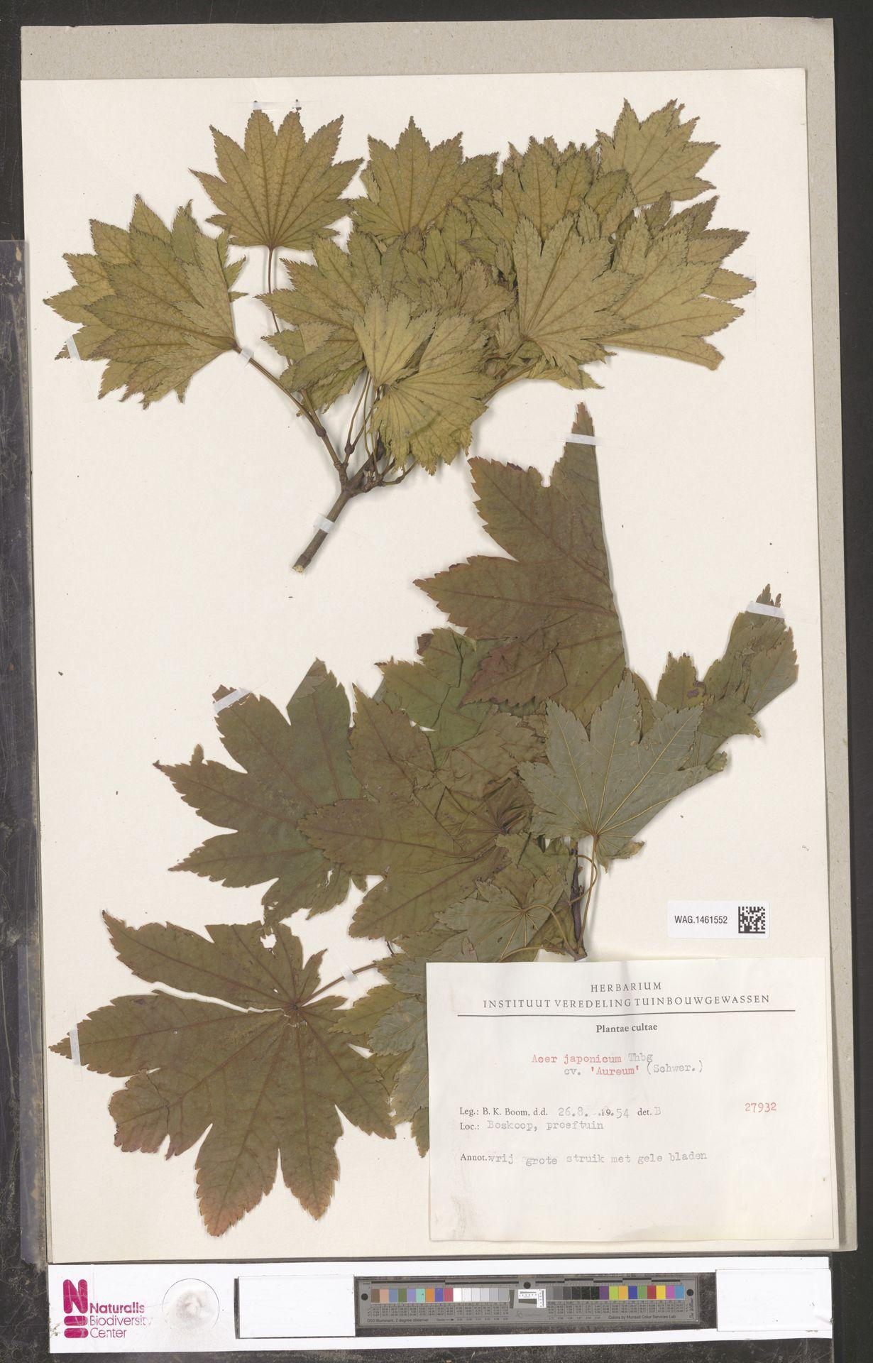 WAG.1461552 | Acer japonicum cv. 'Aureum'
