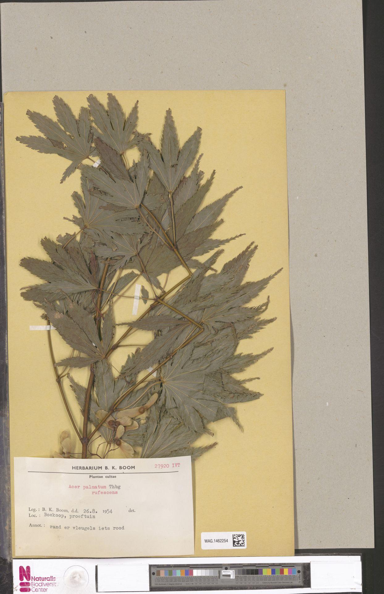 WAG.1462254 | Acer palmatum Thunb.