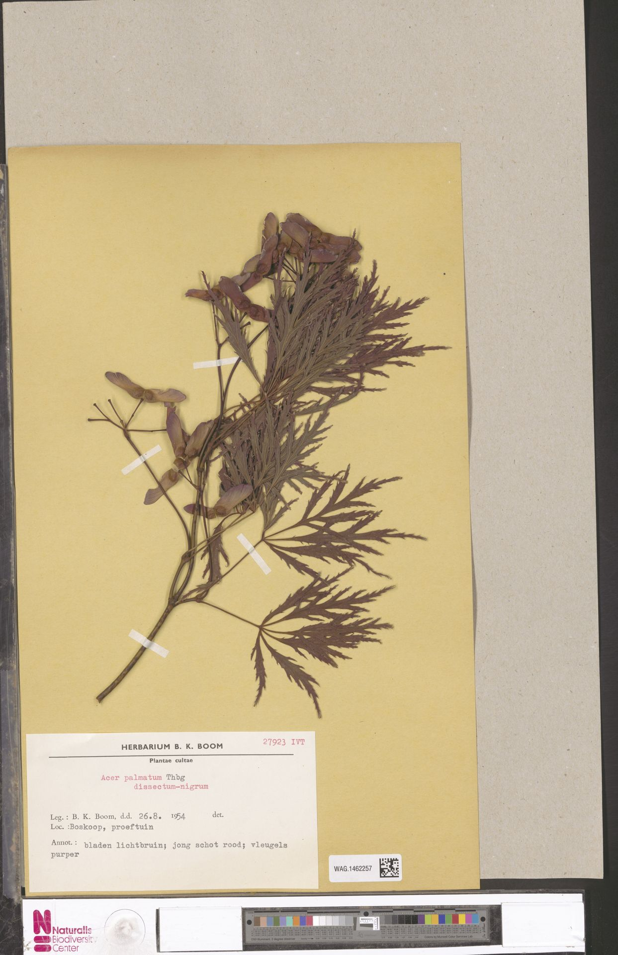 WAG.1462257 | Acer palmatum Thunb.