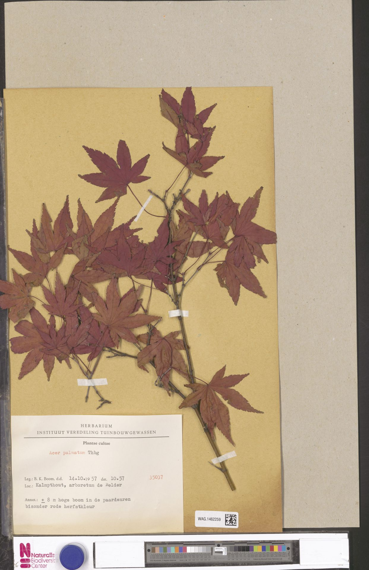 WAG.1462259 | Acer palmatum Thunb.