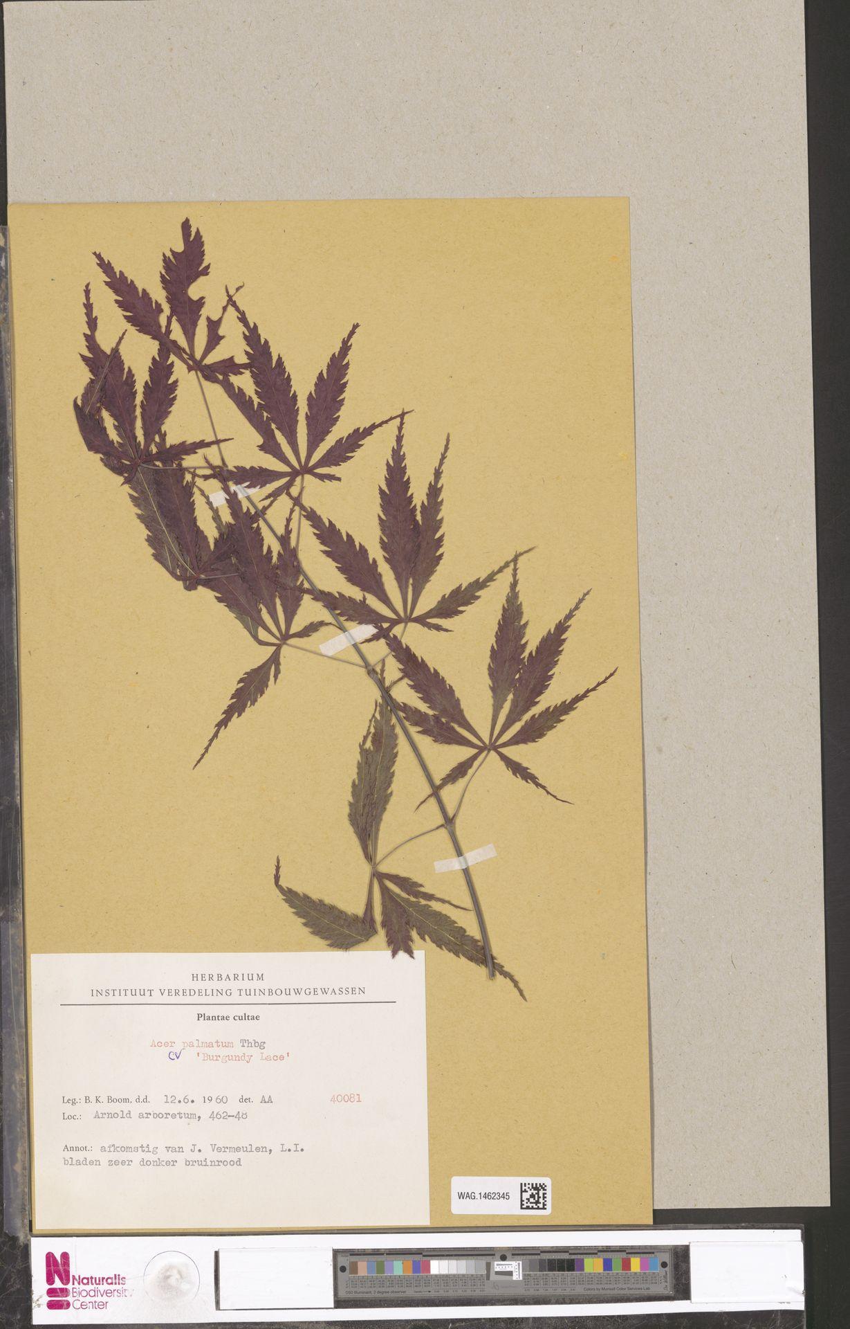 WAG.1462345 | Acer palmatum cv. 'Burgundy Lace'