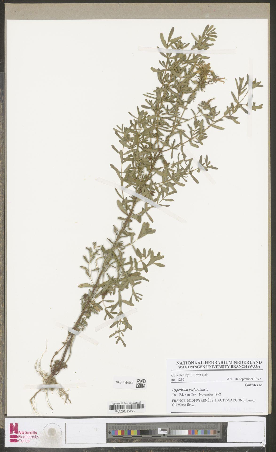 WAG.1464640 | Hypericum perforatum L.