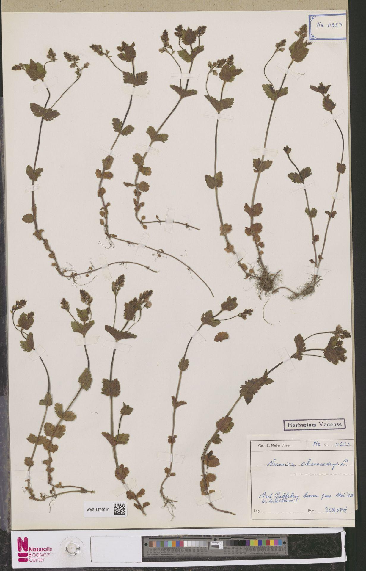 WAG.1474010 | Veronica chamaedrys L.