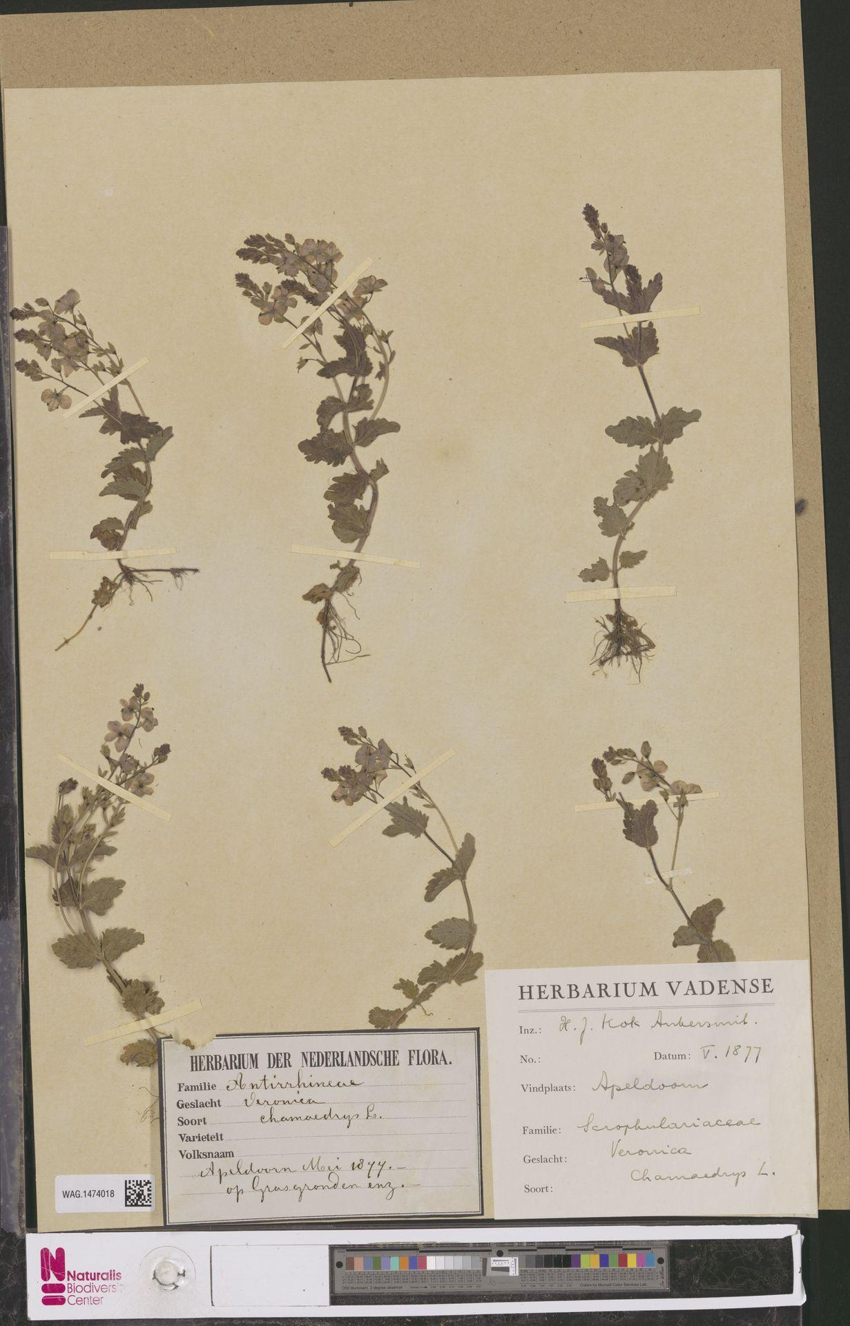 WAG.1474018 | Veronica chamaedrys L.