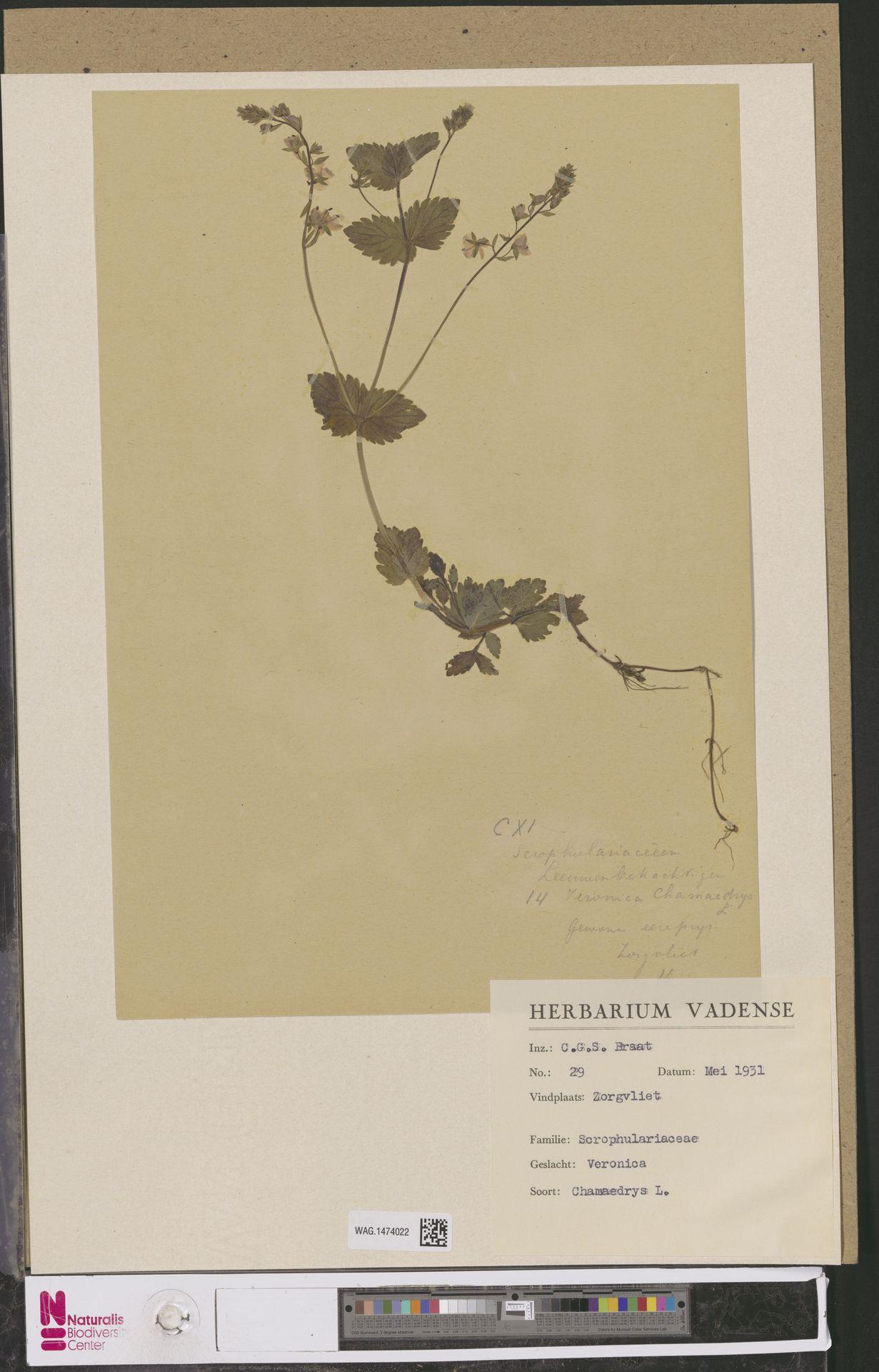 WAG.1474022 | Veronica chamaedrys L.