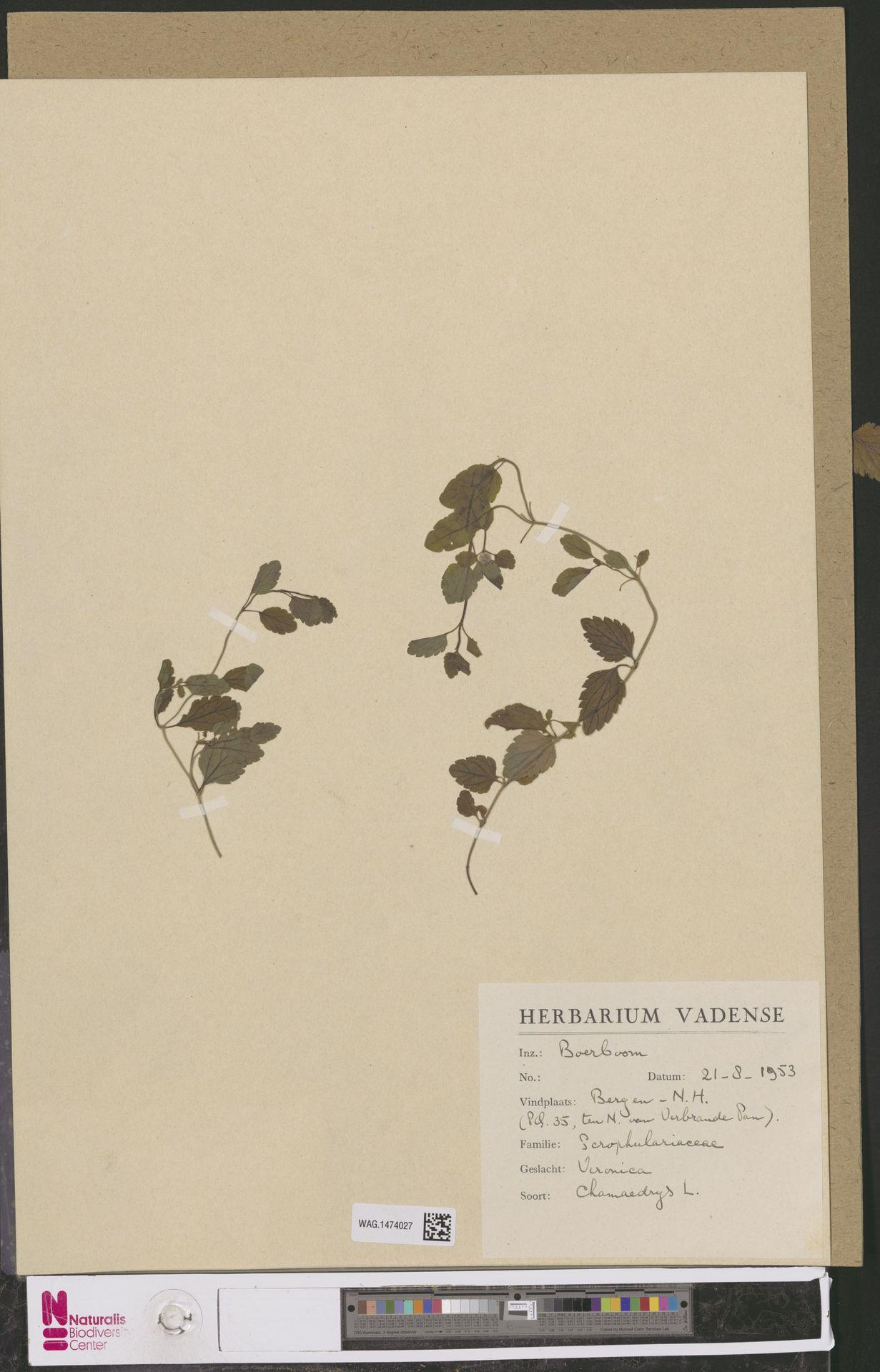 WAG.1474027   Veronica chamaedrys L.