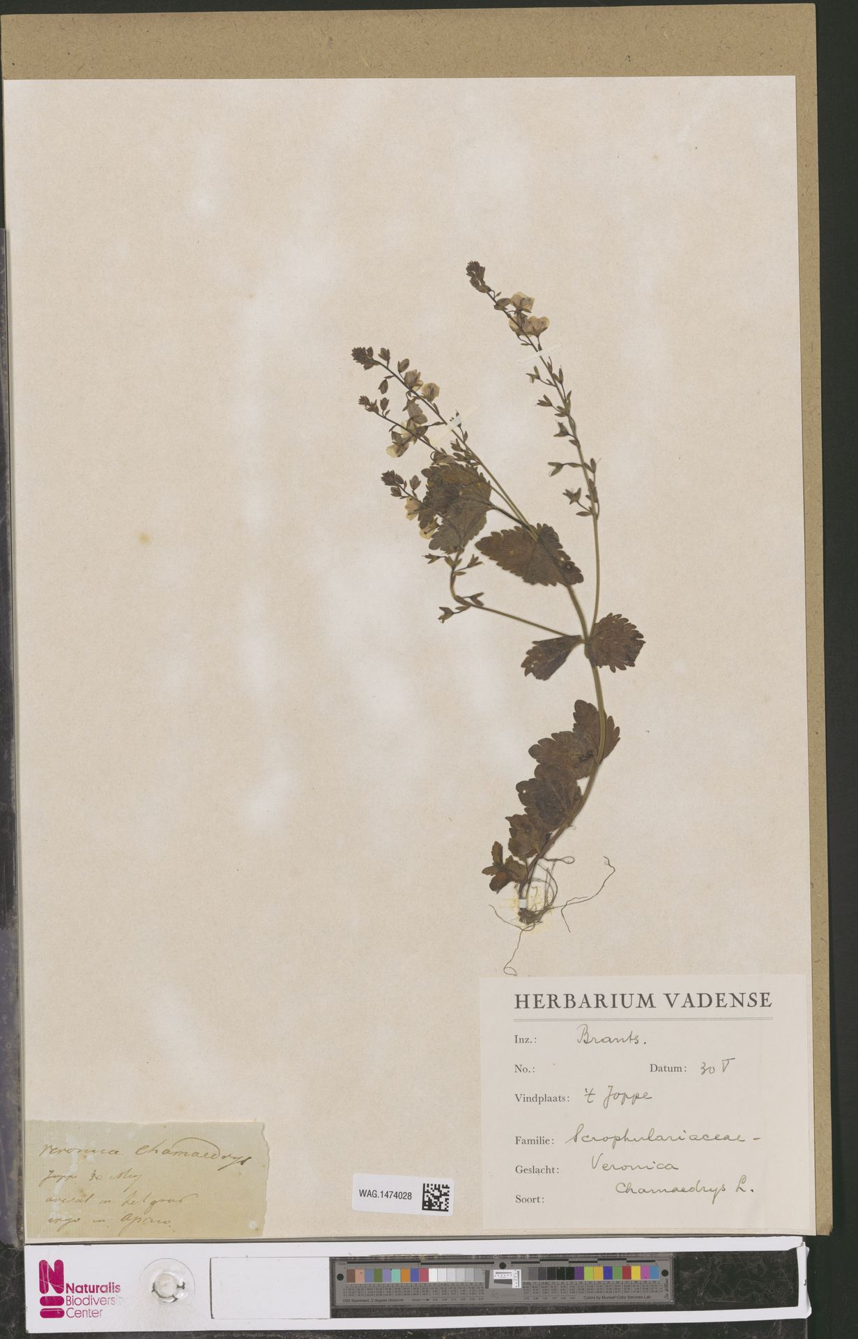 WAG.1474028 | Veronica chamaedrys L.