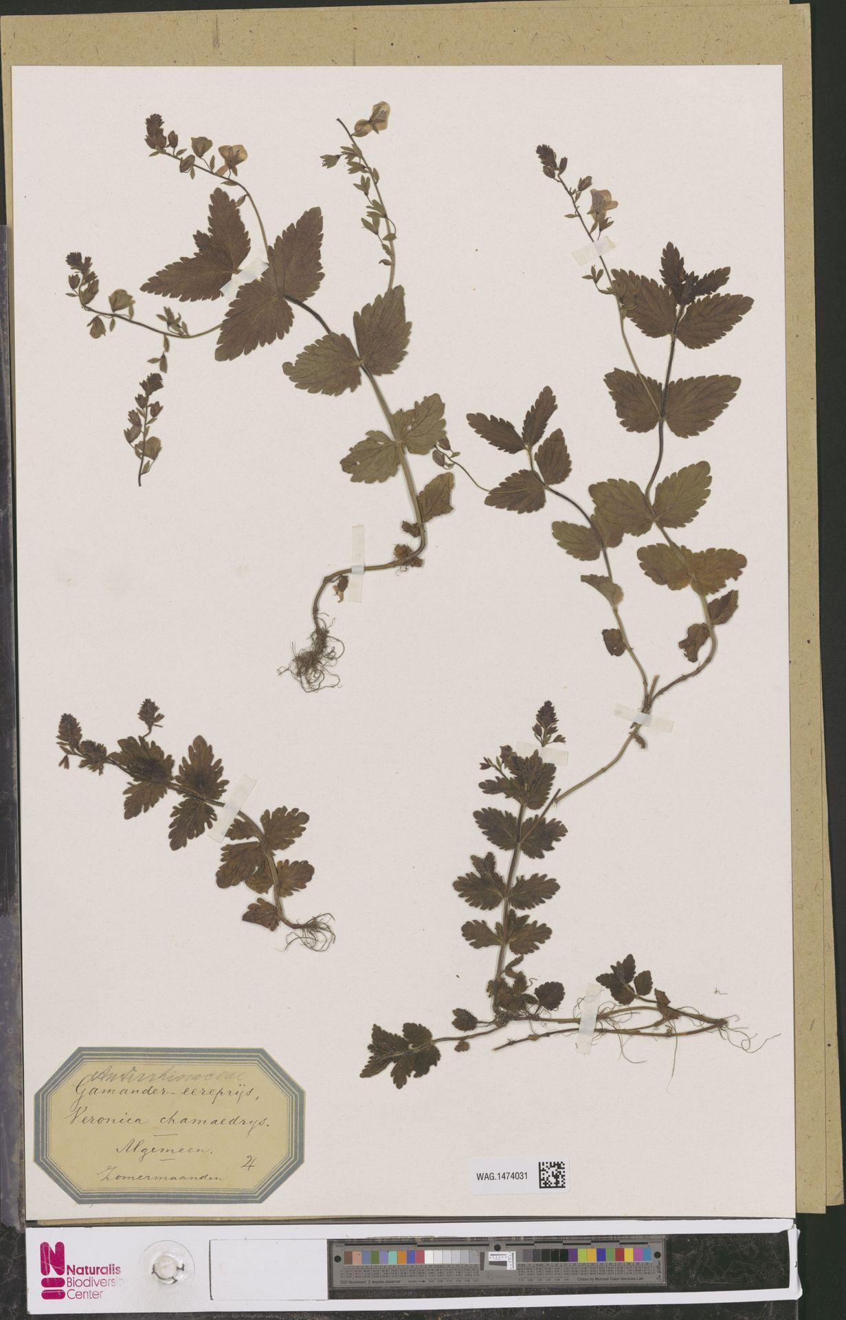 WAG.1474031 | Veronica chamaedrys L.