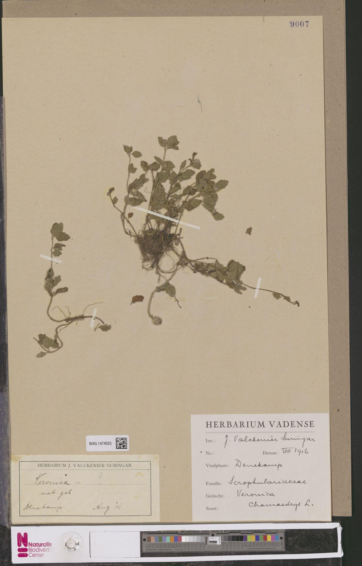 WAG.1474033 | Veronica chamaedrys L.