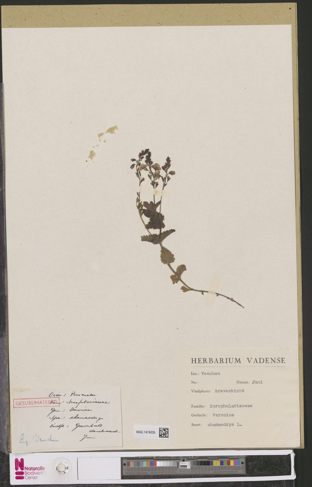 WAG.1474035   Veronica chamaedrys L.