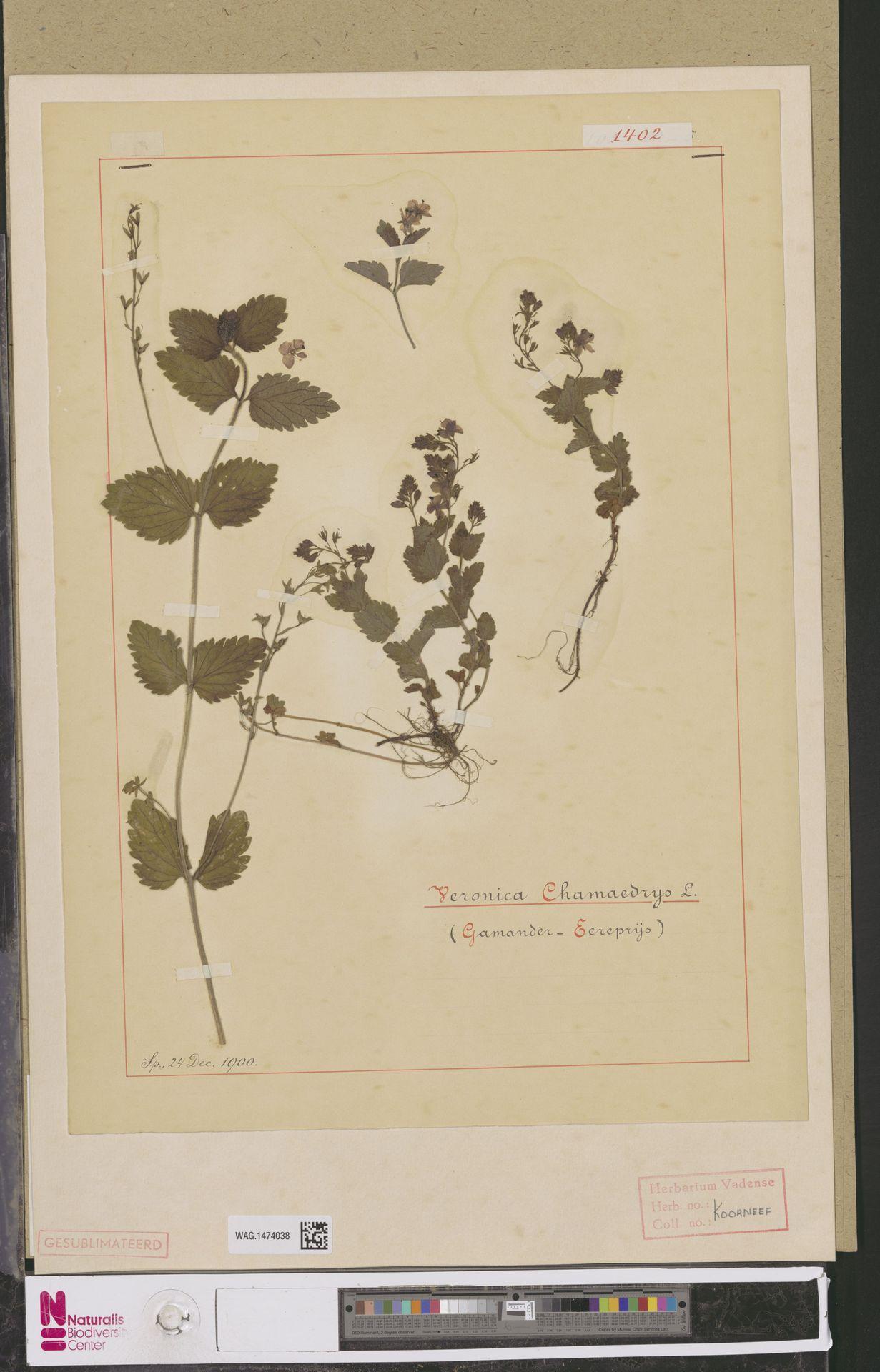 WAG.1474038 | Veronica chamaedrys L.