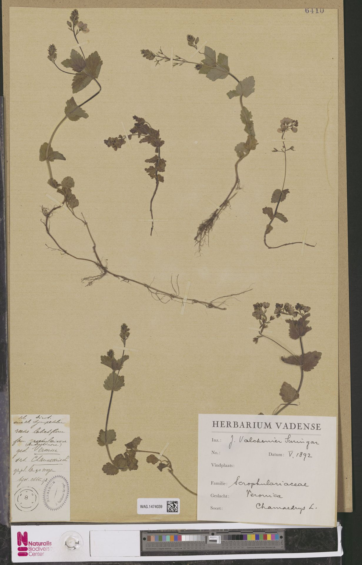 WAG.1474039 | Veronica chamaedrys L.
