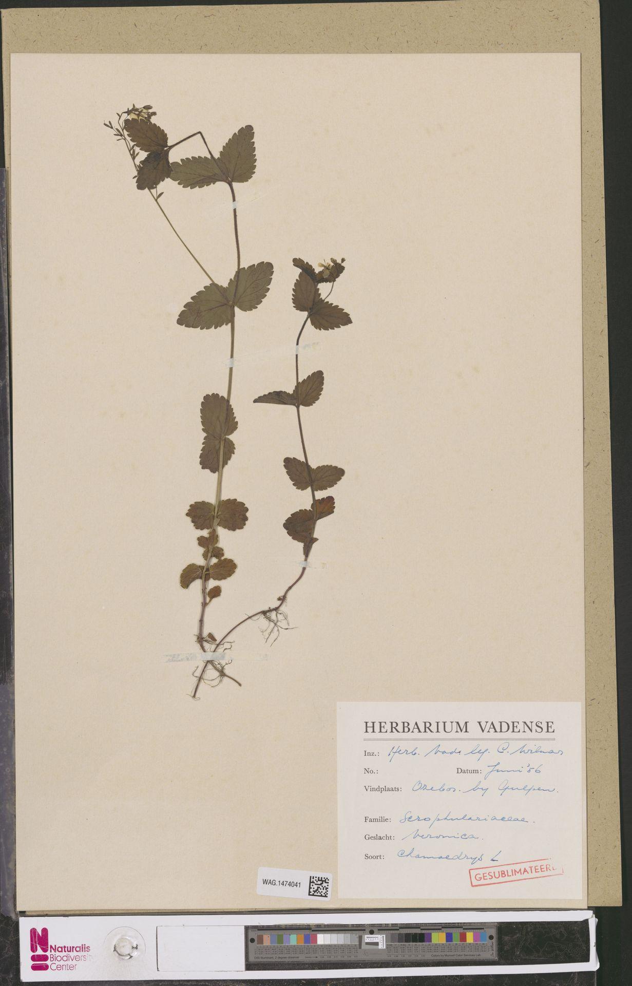 WAG.1474041 | Veronica chamaedrys L.