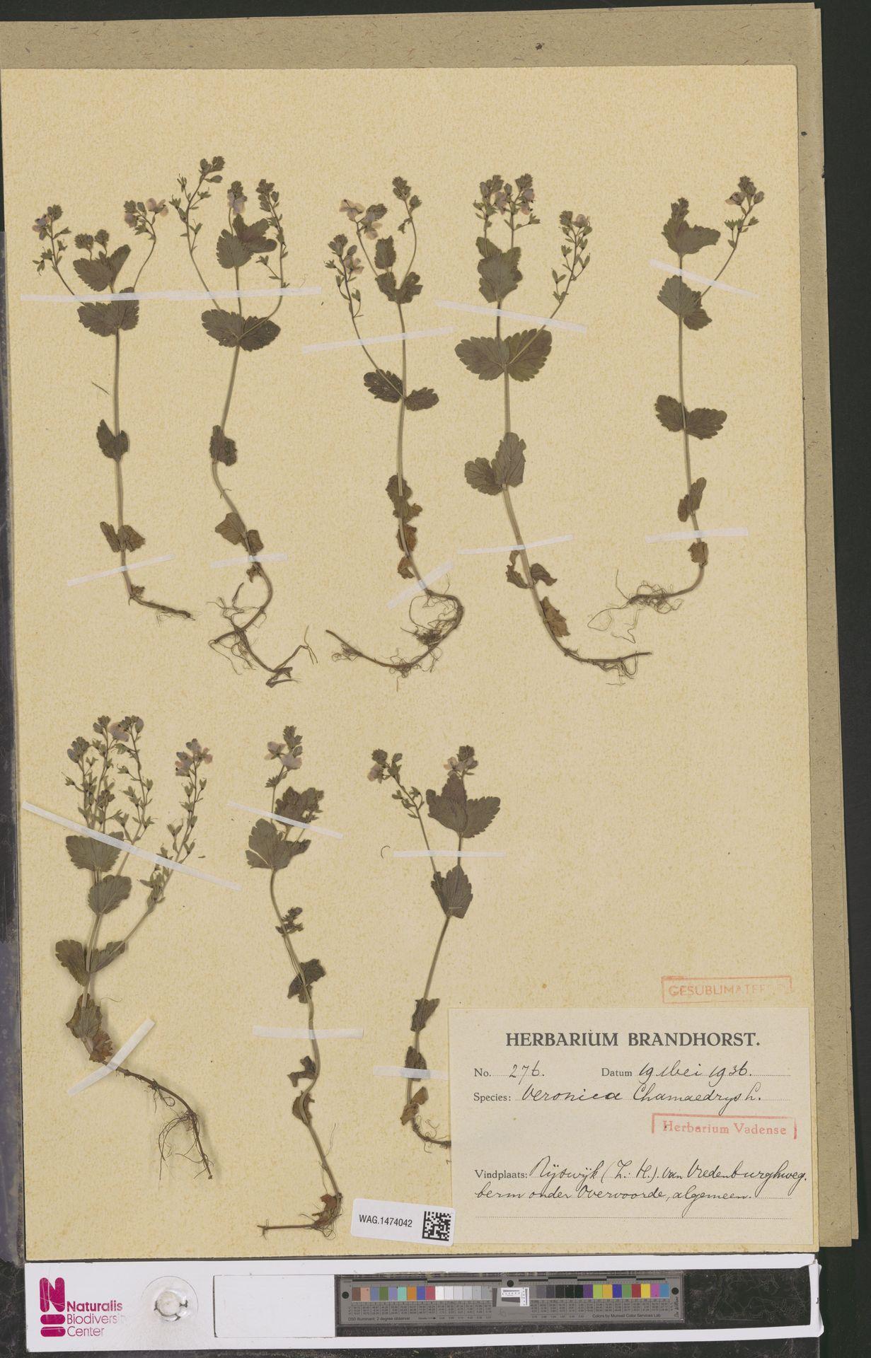 WAG.1474042 | Veronica chamaedrys L.
