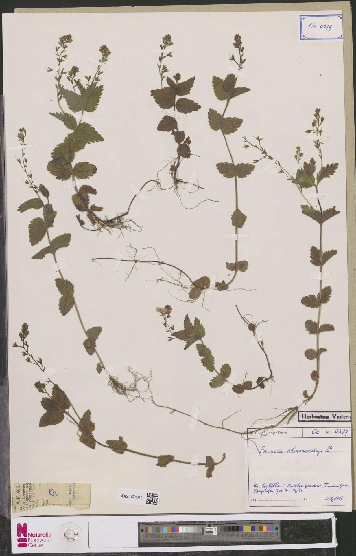 WAG.1474059 | Veronica chamaedrys L.