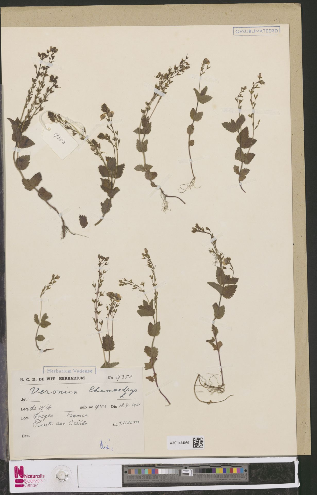 WAG.1474060 | Veronica chamaedrys L.