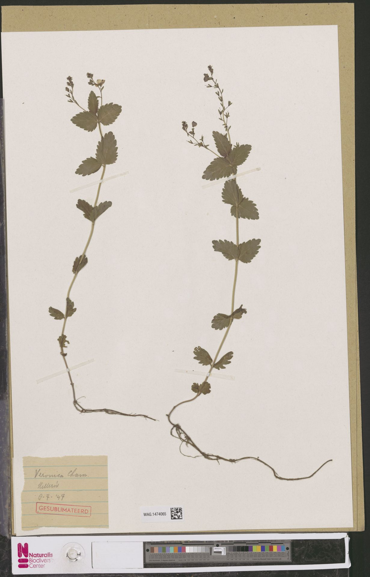 WAG.1474065 | Veronica chamaedrys L.