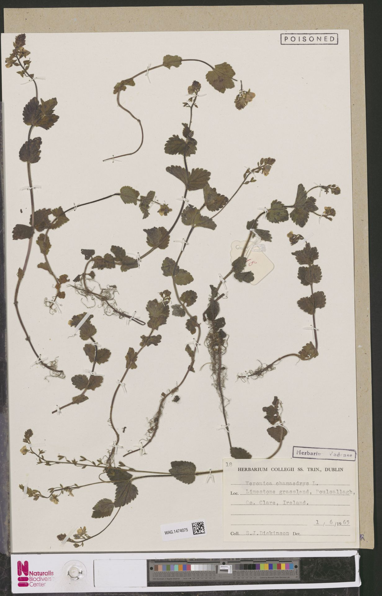 WAG.1474075   Veronica chamaedrys L.