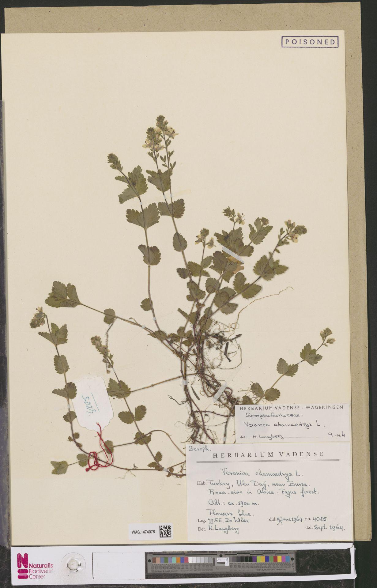 WAG.1474076 | Veronica chamaedrys L.