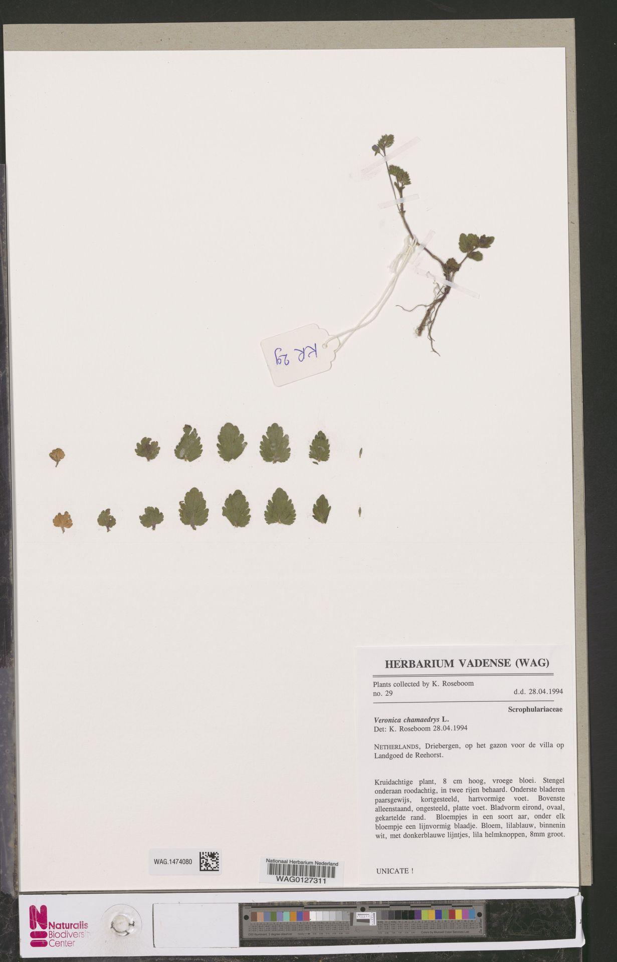 WAG.1474080 | Veronica chamaedrys L.