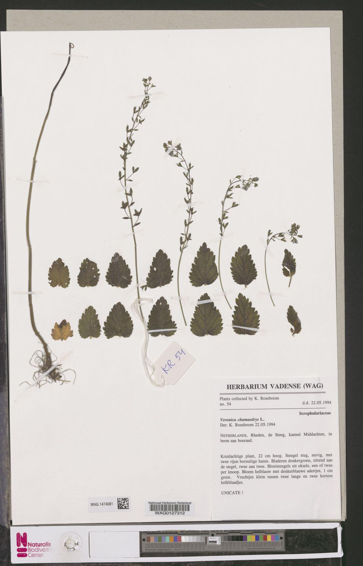 WAG.1474081   Veronica chamaedrys L.