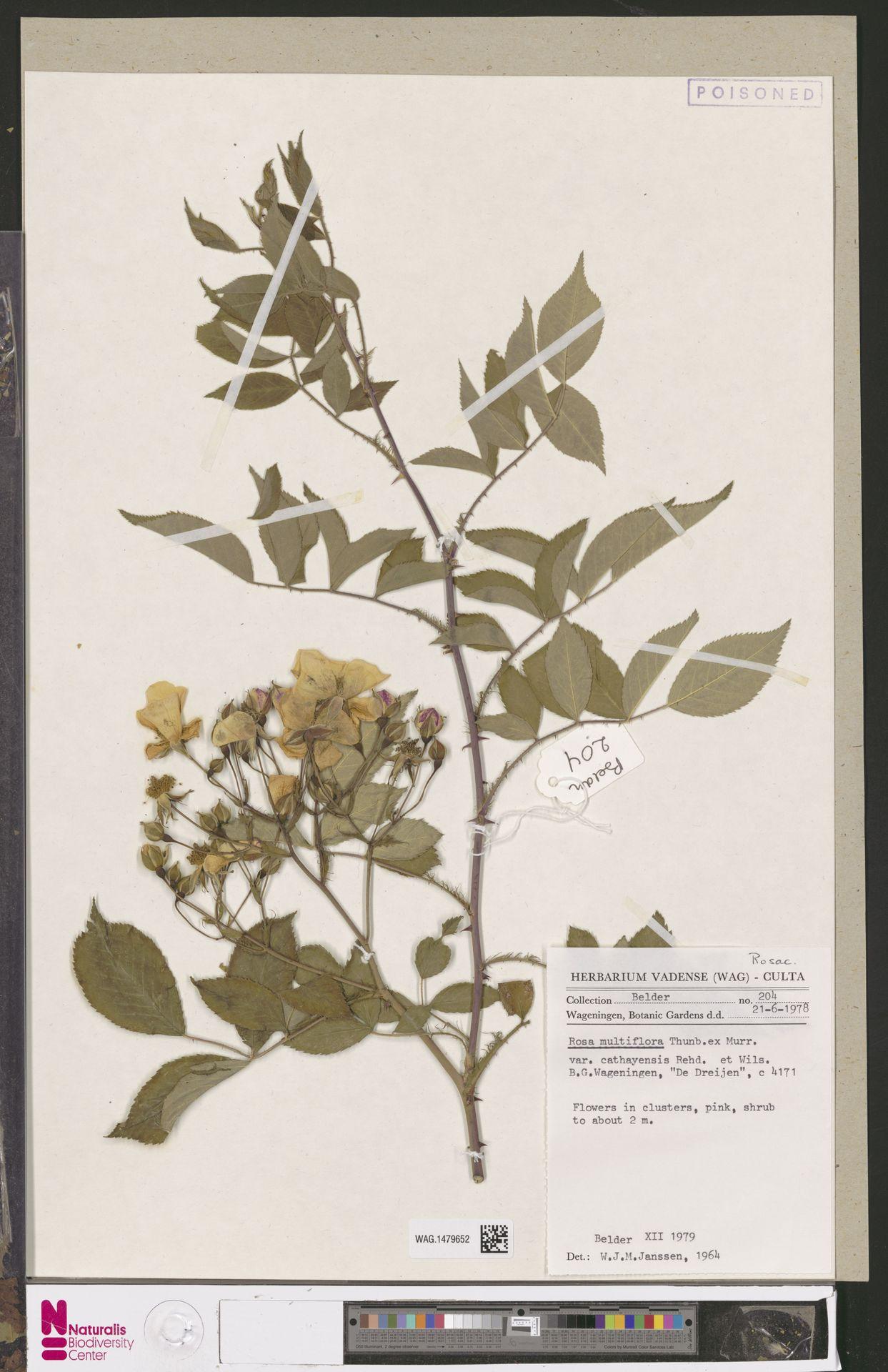 WAG.1479652   Rosa multiflora Thunb.