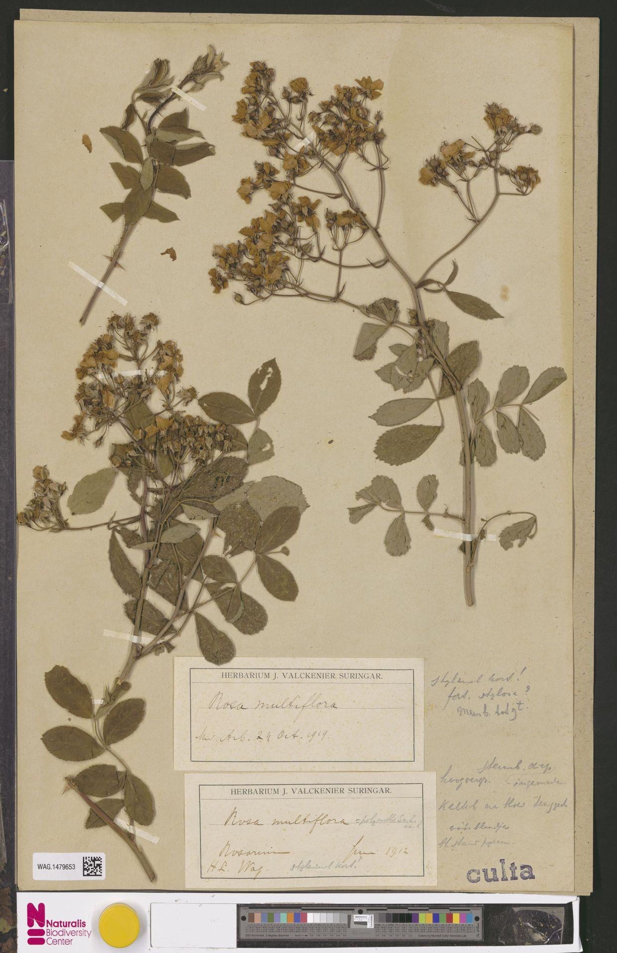 WAG.1479653   Rosa multiflora Thunb.