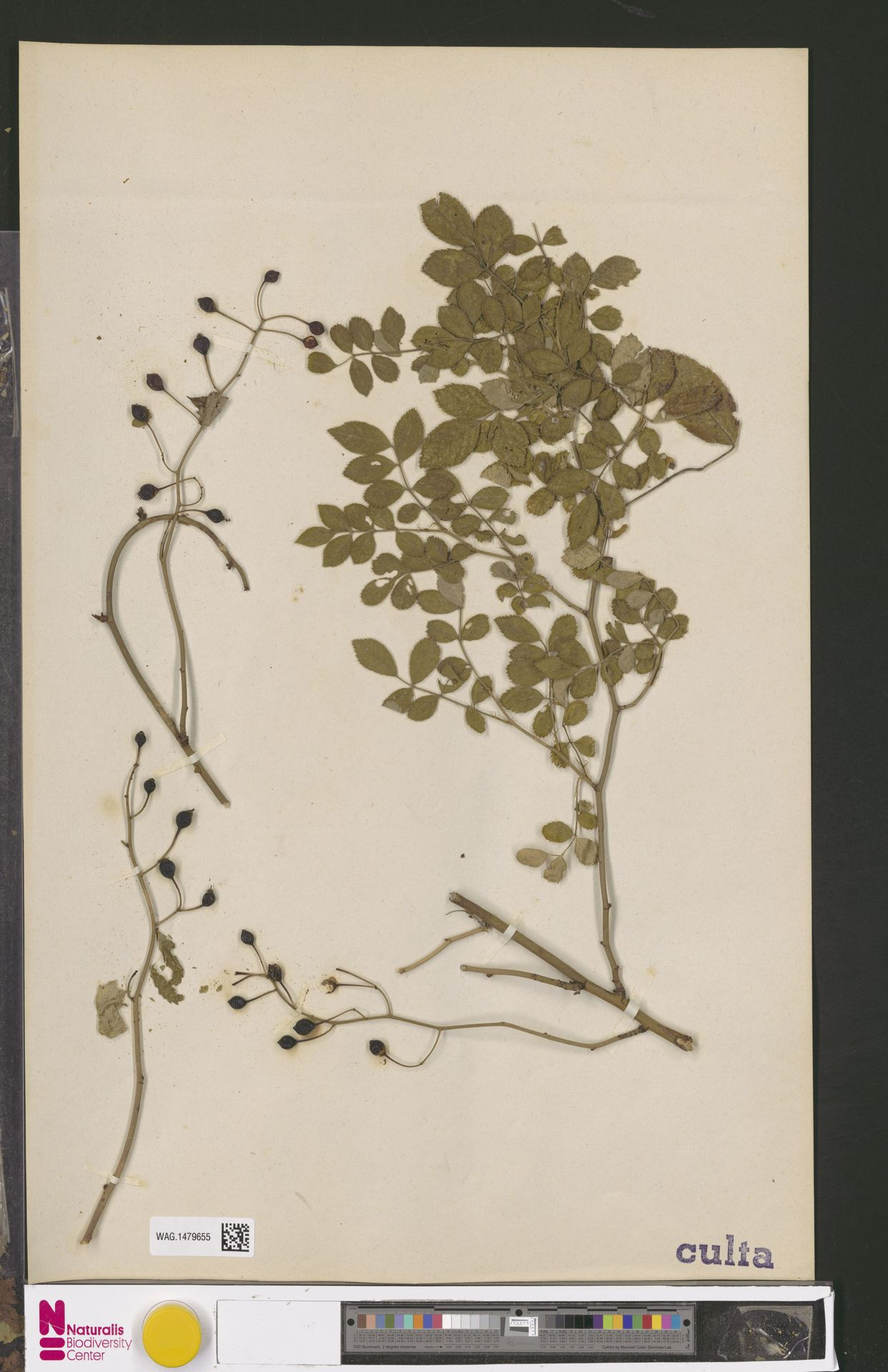 WAG.1479655 | Rosa multiflora Thunb.