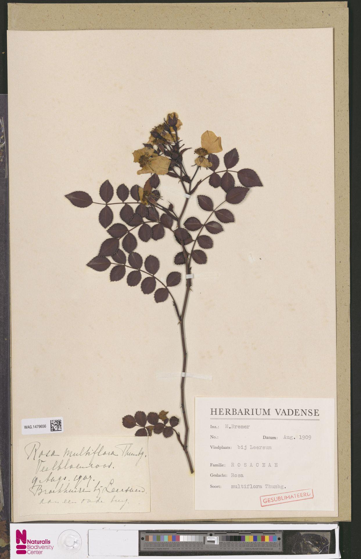 WAG.1479656   Rosa multiflora Thunb.
