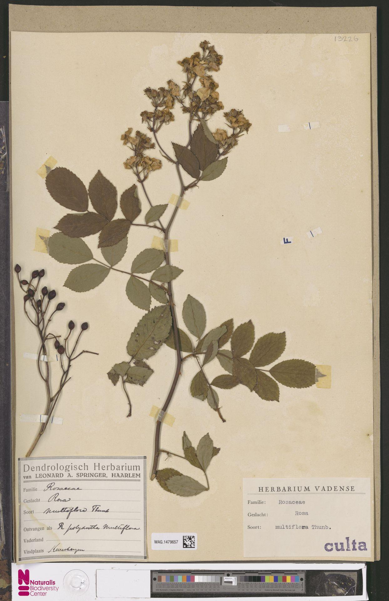 WAG.1479657 | Rosa multiflora Thunb.