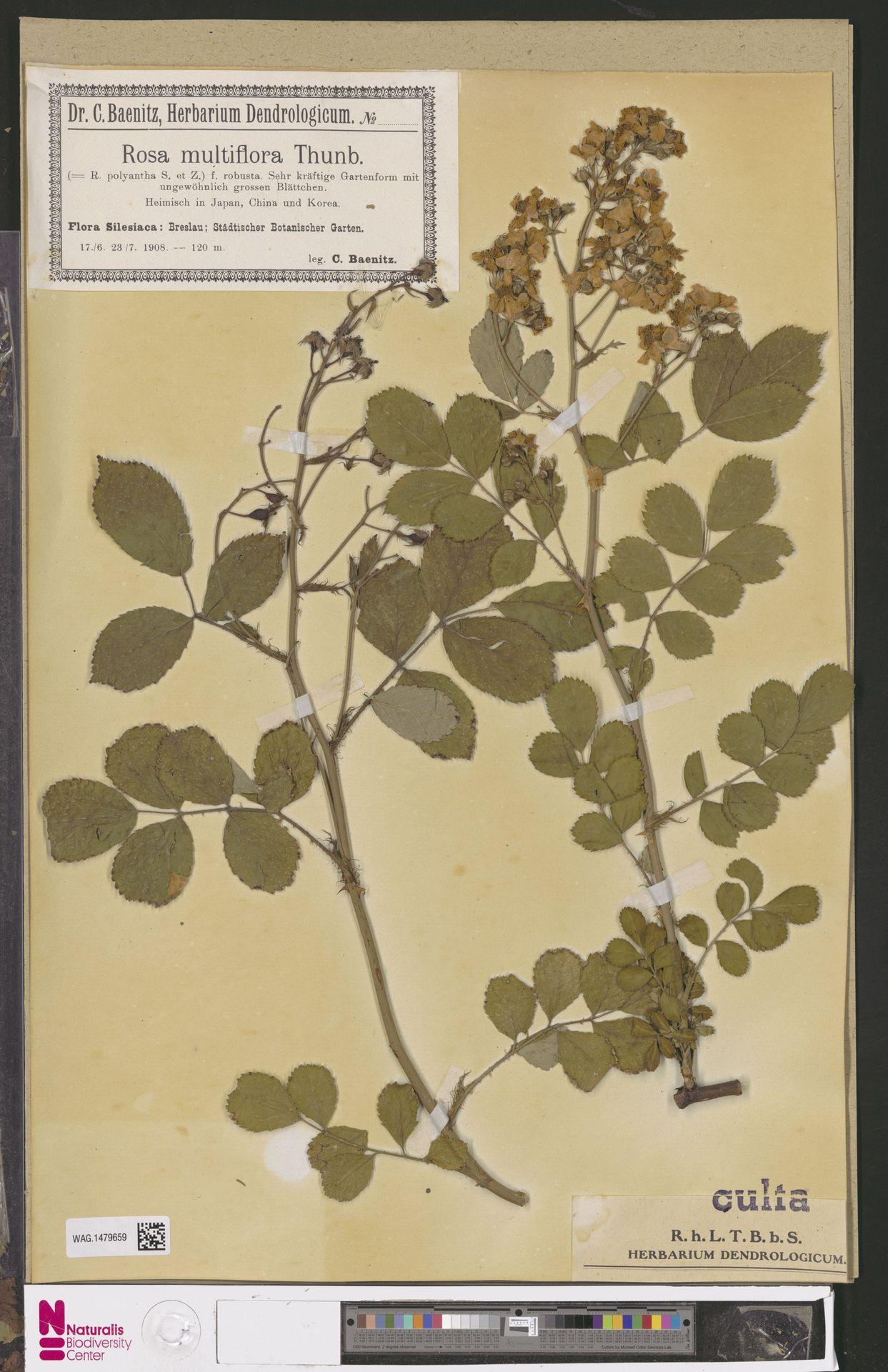 WAG.1479659   Rosa multiflora Thunb.