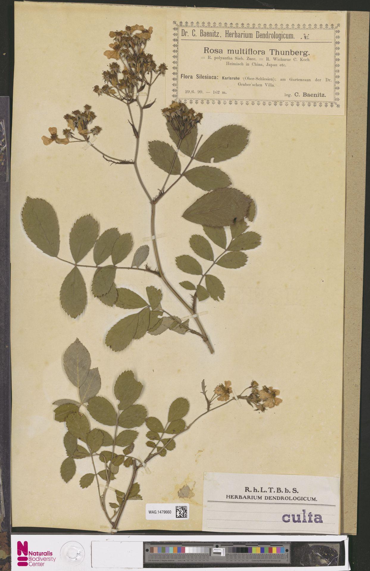 WAG.1479660 | Rosa multiflora Thunb.