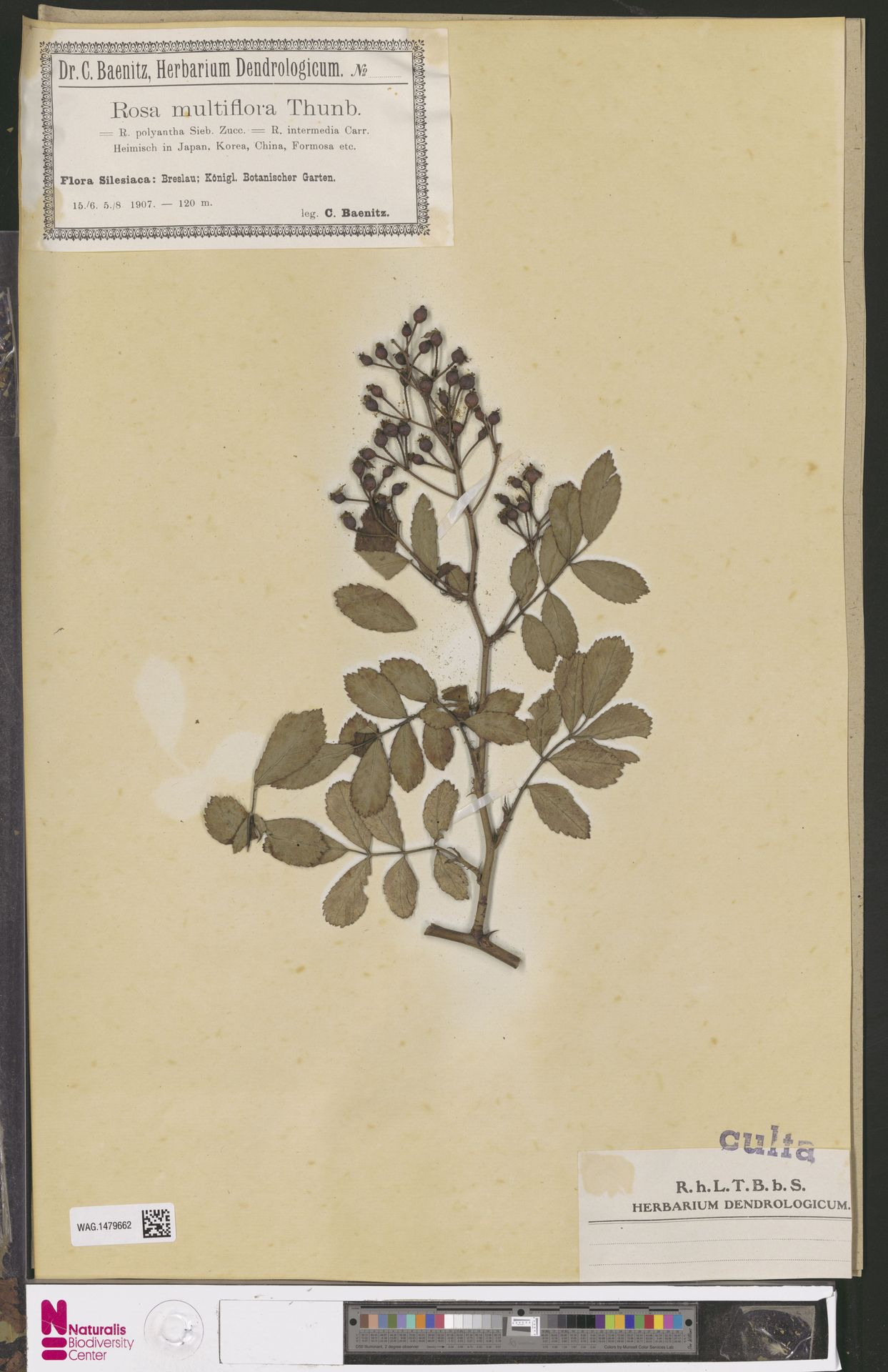 WAG.1479662 | Rosa multiflora Thunb.