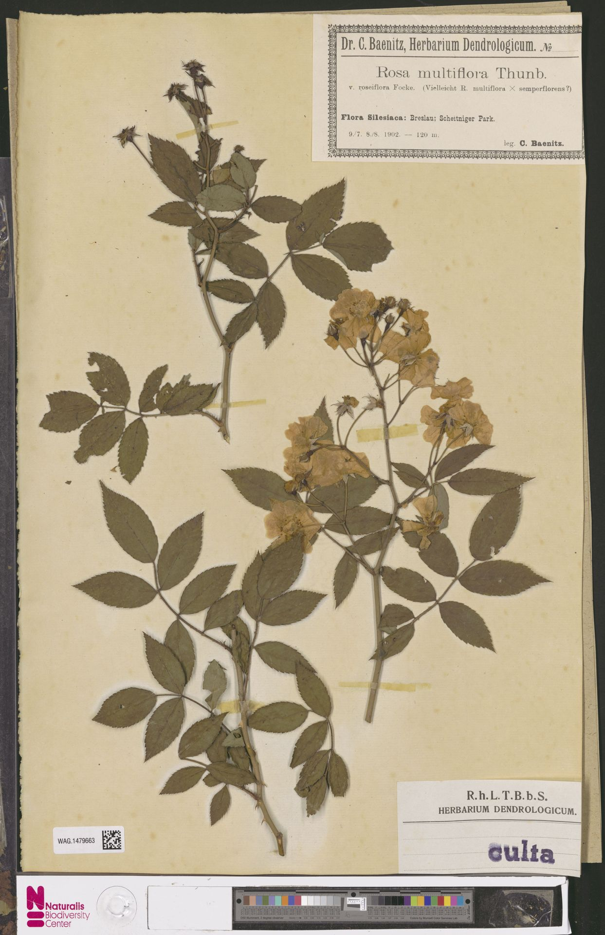 WAG.1479663 | Rosa multiflora Thunb.