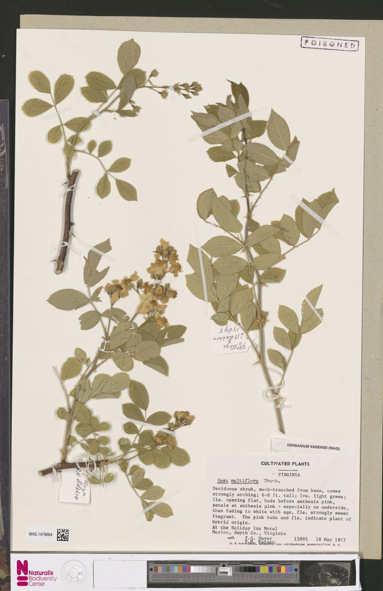 WAG.1479664 | Rosa multiflora Thunb.
