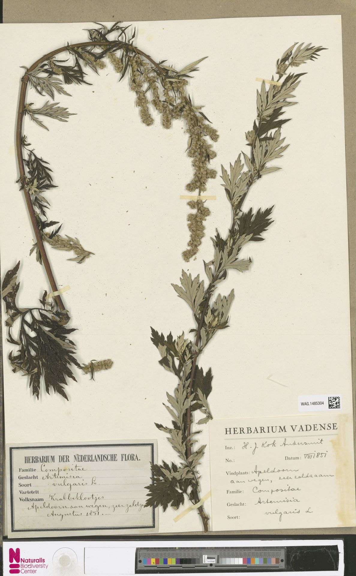 WAG.1485304 | Artemisia vulgaris L.