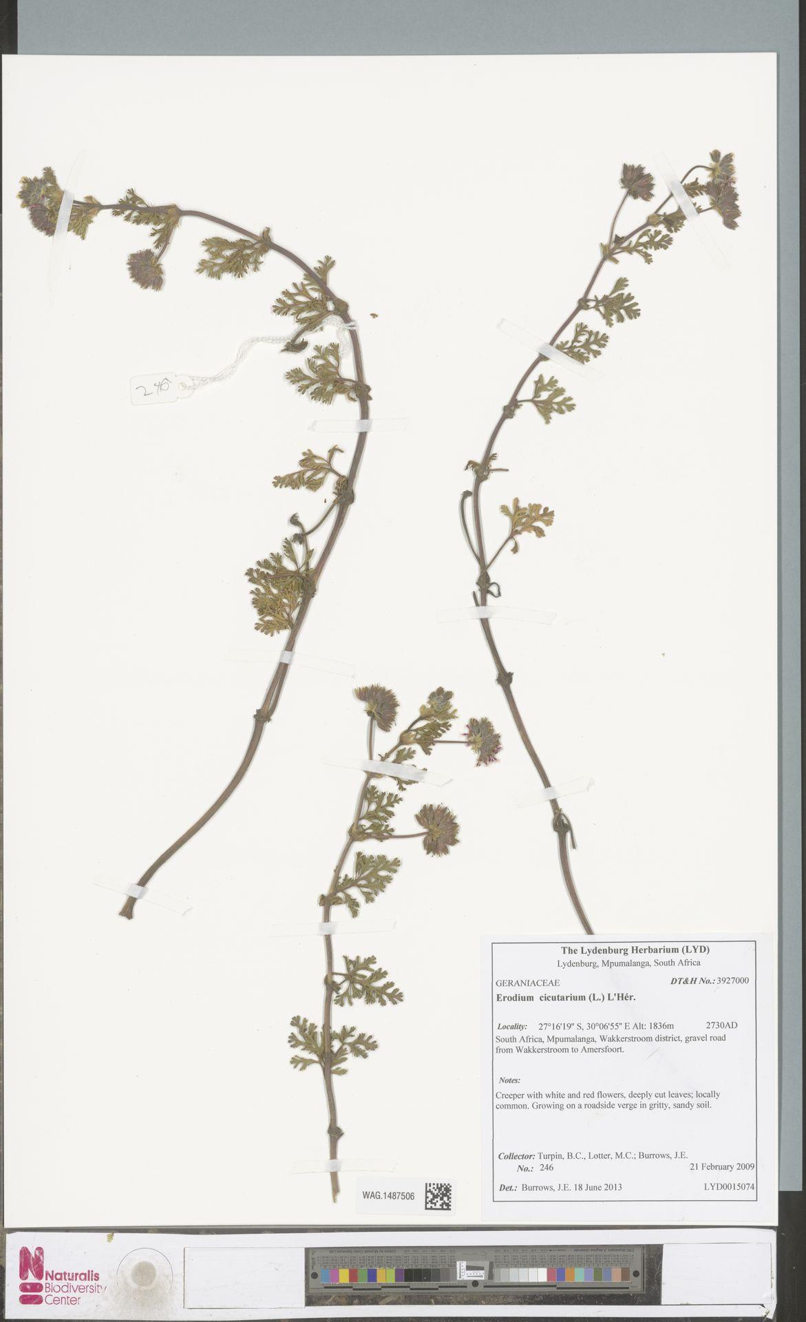 WAG.1487506 | Erodium cicutarium (L.) L'Hér.
